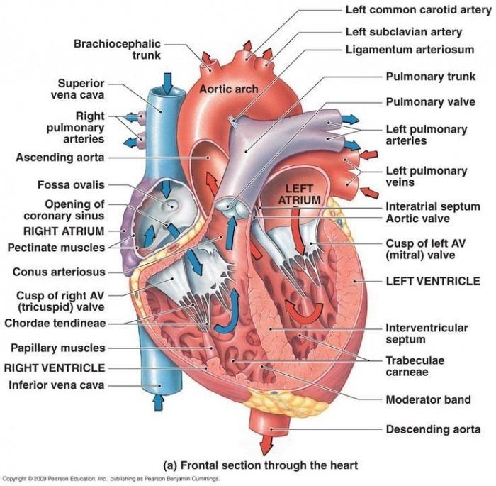 Human Body Diagram Worksheets