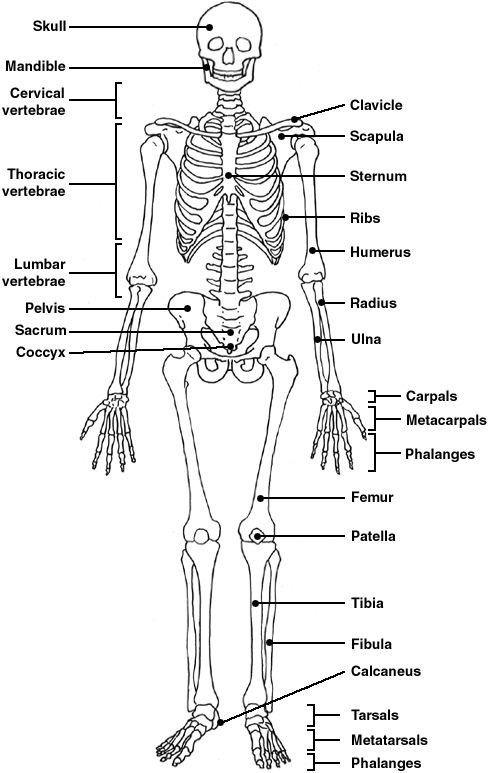 Pin By Tasneem Assaf On Anatomy In