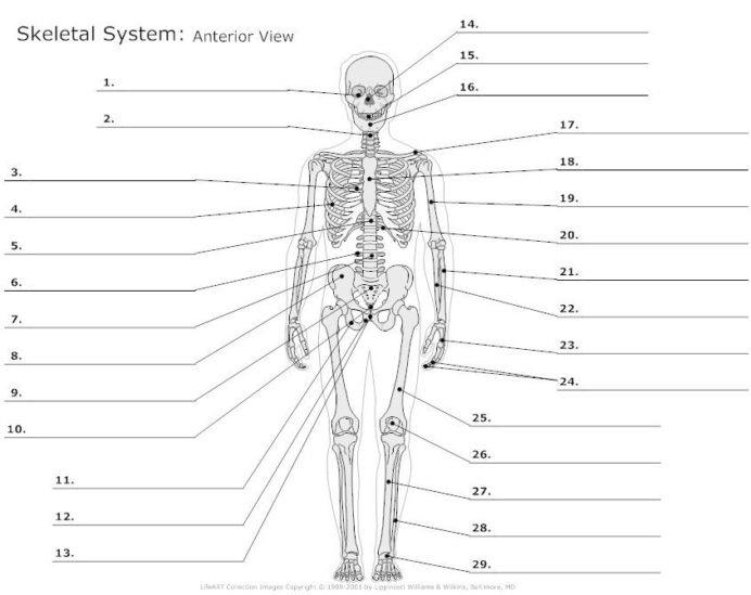 Skeletal System Diagram Worksheet Anatomy Organs And Labeling