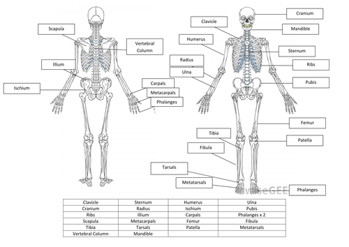 Skeletal System Worksheet And Answers