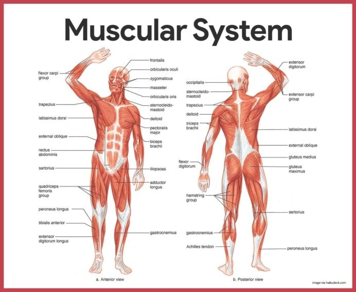 Muscular System Anatomy And Physiology Nurseslabs Human Body