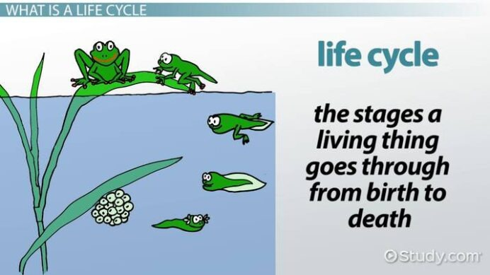 Animal Life Cycles Lesson For Kids Transcript Study Biology And