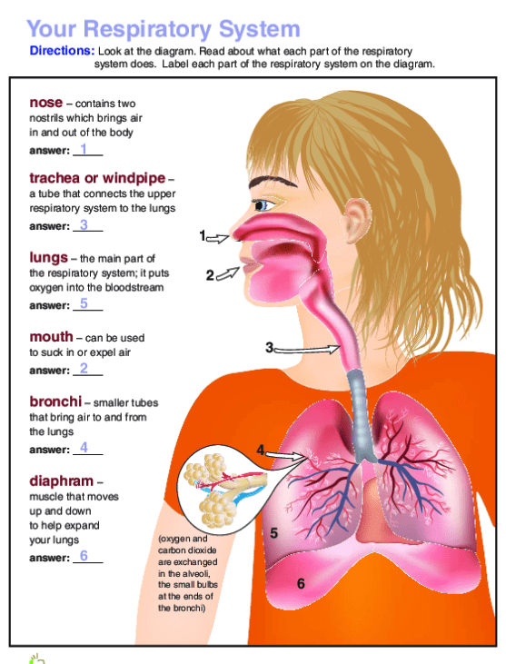 Breathe In  Breathe Out The Respiratory System