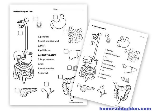 Digestive System Hands