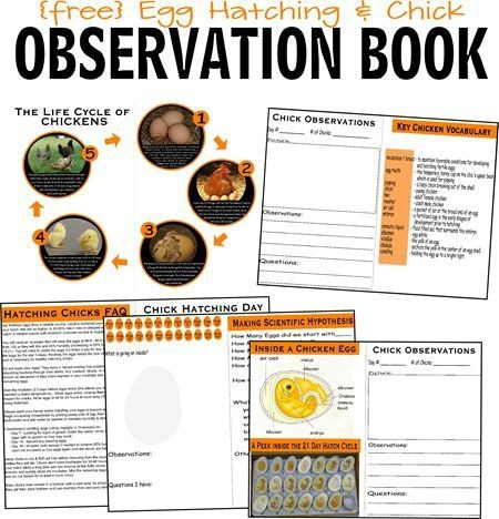 Hatching Baby Chicks And Free Life Cycle Of A Chicken Worksheets