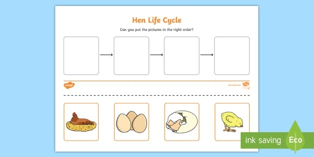 Hen Life Cycle Worksheets Teacher Made